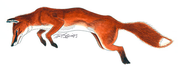 European fox