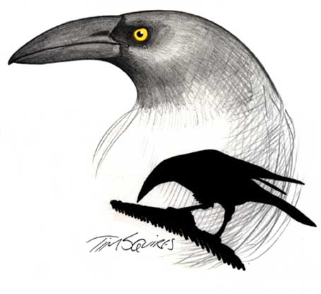 currawong-for-don