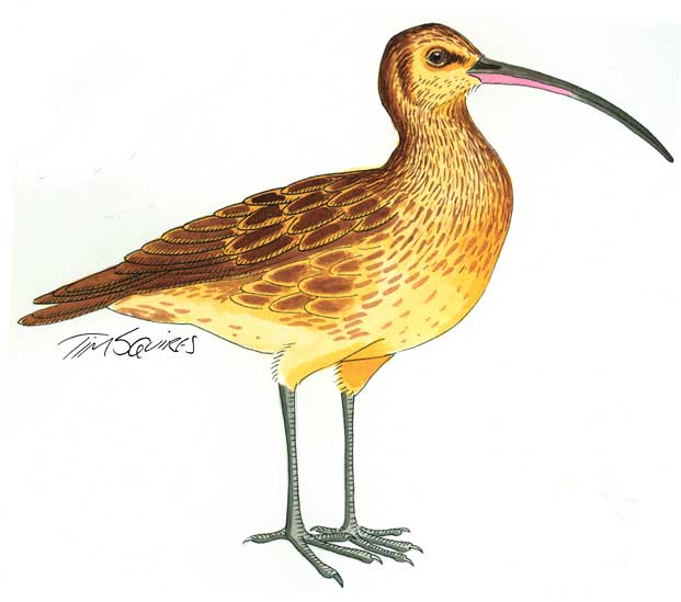 curlew-for-don-website